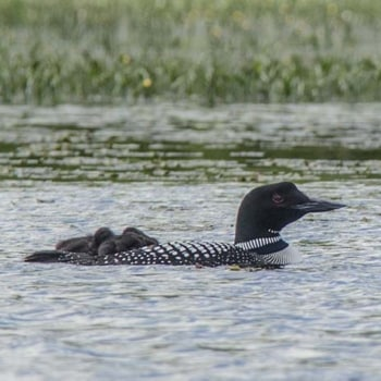 Loon with Two Chicks