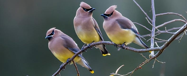 Cedar Waxwings breed in Canada then migrate to the southern US, or Central America, for the winter.